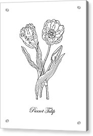 Parrot Tulips Botanical Drawing Black And White Acrylic Print