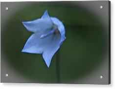 Acrylic Print featuring the photograph Parrys Bell Flower by Daniel Hebard