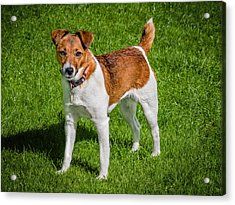 Parson Jack Russell Acrylic Print