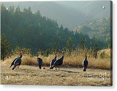 Part I Wild Turkeys  Considering Options Acrylic Print