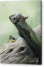 Parulines Du Canada Acrylic Print by Caroline Boyer