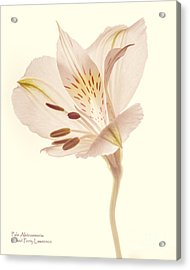 Acrylic Print featuring the photograph Pasae Alstroemeria By Flower Photographer David Perry Lawrence by David Perry Lawrence