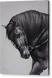 Acrylic Print featuring the drawing Paso Fino by Harvie Brown