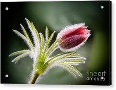 Pasque Flower Acrylic Print