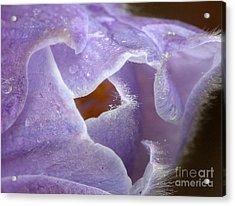 Pasqueflower Acrylic Print