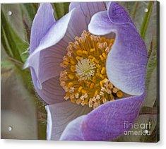 Pasqueflower Promise Acrylic Print