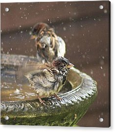Pass The Towel Please: A House Sparrow Acrylic Print