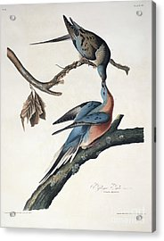 Passenger Pigeon Acrylic Print by John James Audubon