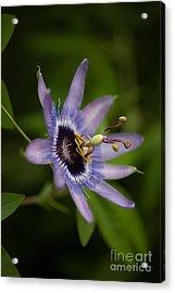 Passiflora Acrylic Print by Mike Reid