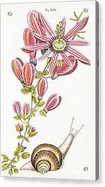 Passiflora Princeps Acrylic Print