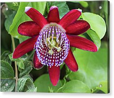 Passiflora Ruby Glow. Passion Flower Acrylic Print