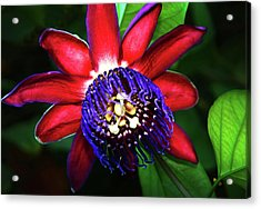 Acrylic Print featuring the photograph Passion Flower by Anthony Jones