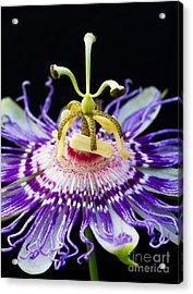 Passion Flower Acrylic Print by Dawna  Moore Photography