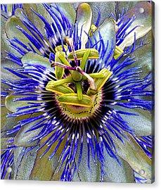 Passion Flower Acrylic Print by Michele Avanti