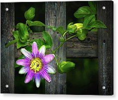 Passion Flower On The Fence Acrylic Print