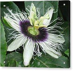 Passion Flower  - Passiflora Edulis Var. Flavicarpa Acrylic Print