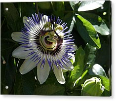 Passion Flower Photo Acrylic Print by Judy Mercer