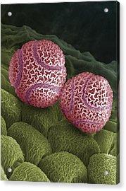 Passion Flower Pollen Sem Acrylic Print