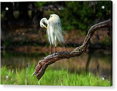Passionate About Preening Acrylic Print by Donnie Smith