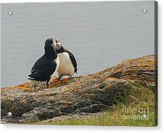 Passionate Puffin Acrylic Print by Jim  Hatch