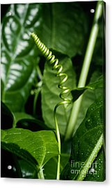 Passionflower Tendrils Acrylic Print