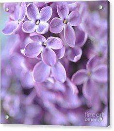 Pastel Lilacs Acrylic Print