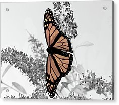 Pastel Monarch On Black And White Acrylic Print