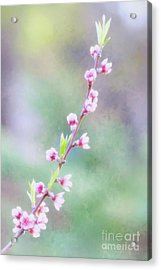 Pastel Painted Peach Blossoms Acrylic Print