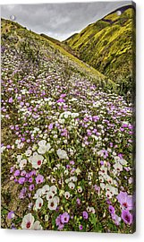 Pastel Super Bloom Acrylic Print