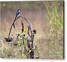 Pastoral Scene Bird On Sunflower Acrylic Print