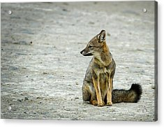 Patagonia Fox - Argentina Acrylic Print
