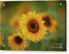 Patch Of Sunflowers Acrylic Print