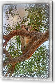 Acrylic Print featuring the photograph Patience Brings Koalas by Hanny Heim