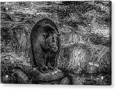 Patient Black Bear Acrylic Print