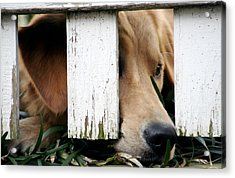 Patiently Waiting Acrylic Print by Patrick Biestman