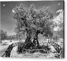 Patriarch Olive Tree Acrylic Print by Alan Toepfer
