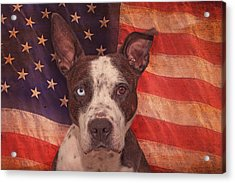 Patriotic Pit Bull  Acrylic Print by Brian Cross