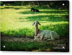 Peaceful Pasture Acrylic Print