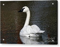 Peaceful Swan Acrylic Print