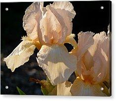Peach Bearded Iris Acrylic Print