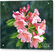 Peach Colored Rhododendron Flowers Dark Background Acrylic Print by Sharon Freeman