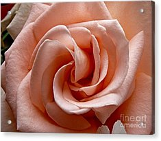 Peach-colored Rose Acrylic Print