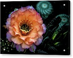 Acrylic Print featuring the photograph Peach Desert Glow Bloom by Julie Palencia