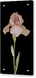 Peach Iris Acrylic Print by Michael Peychich