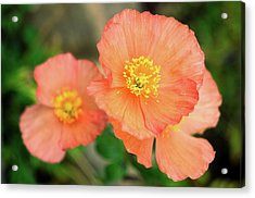 Acrylic Print featuring the photograph Peach Poppies by Sally Weigand
