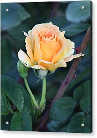 Peach Rose 3 Acrylic Print