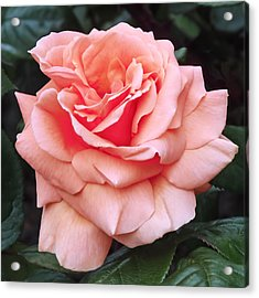 Peach Rose Acrylic Print by Rona Black