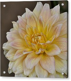 Peaches And Cream Dahlia Acrylic Print