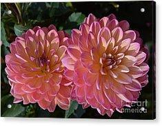 Peachy Dahlias Acrylic Print