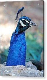 Peacock 1 Acrylic Print by Diana Douglass